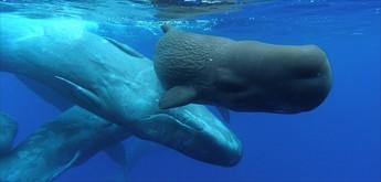 observacao-cetaceos-golfinhos-dolphins-acores-4